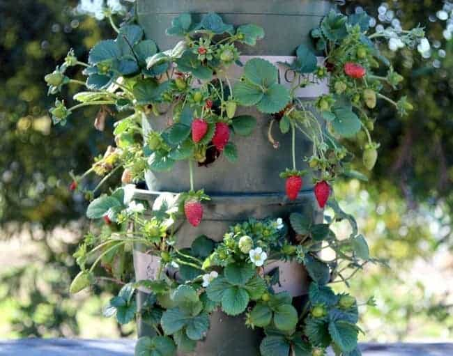 Best Way To Grow Strawberries In Containers 2020 Family