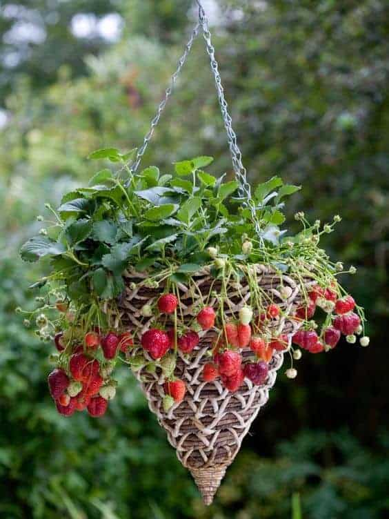 Grow strawberries in a hanging basket