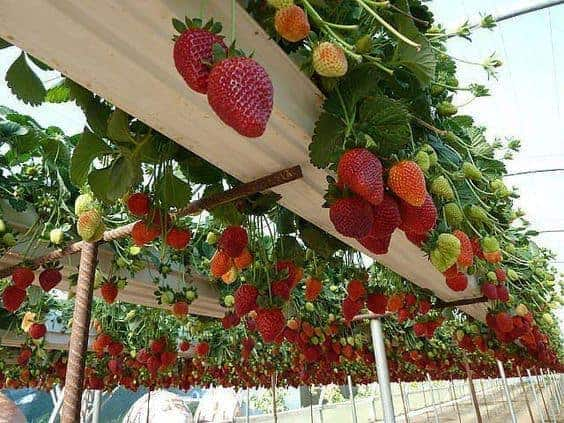 Best Ways To Grow Strawberries In Containers Family Food