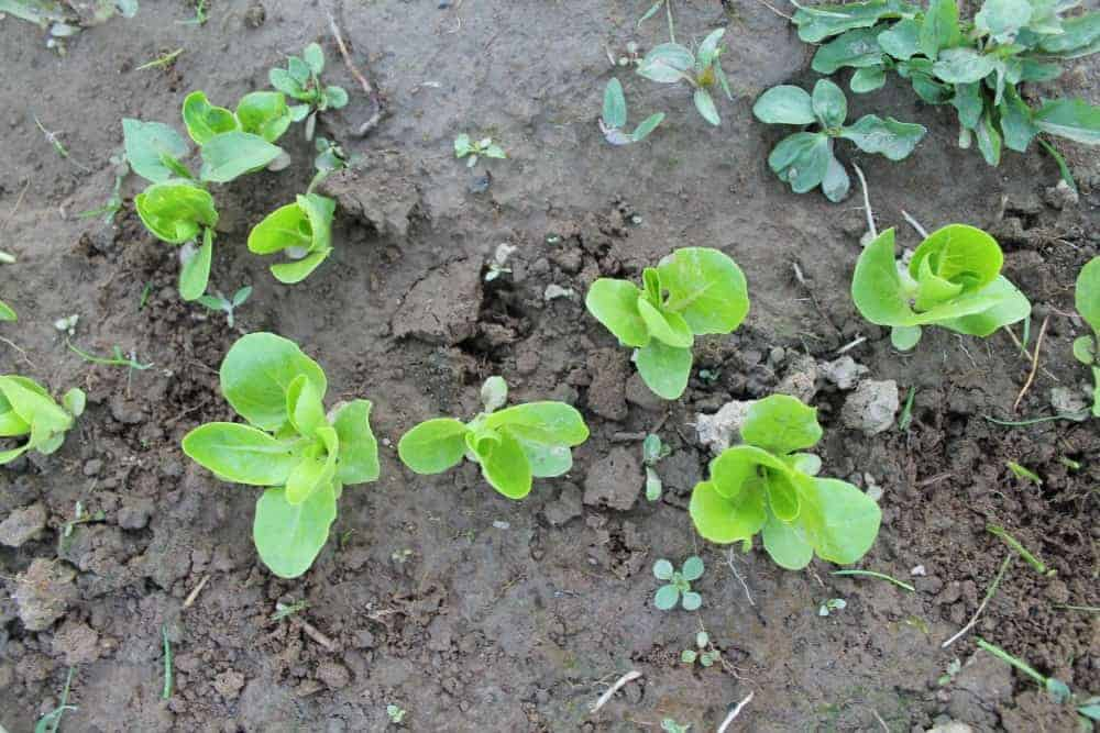 How to Thin Out Seedlings for Healthier Plants