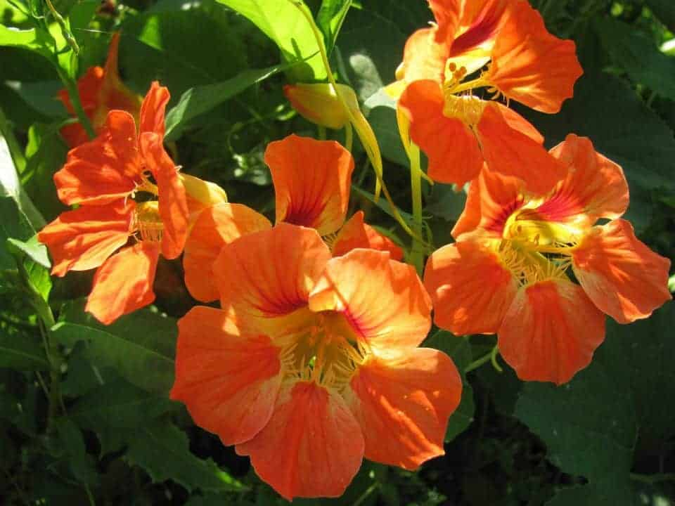 Edible flowers- Nasturtiums