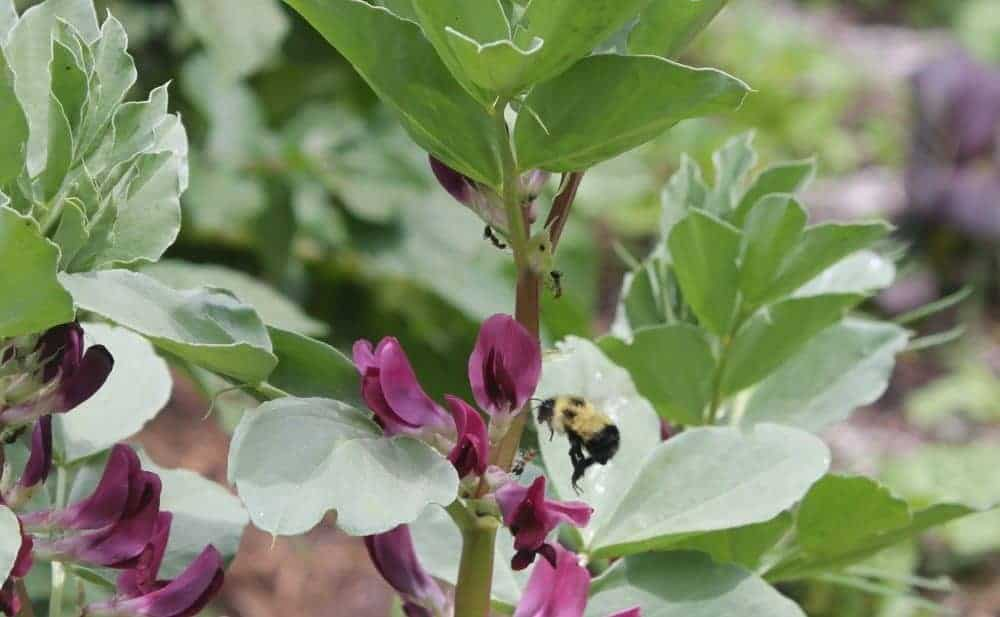 Garden Crops that need Pollinators to Produce Harvests