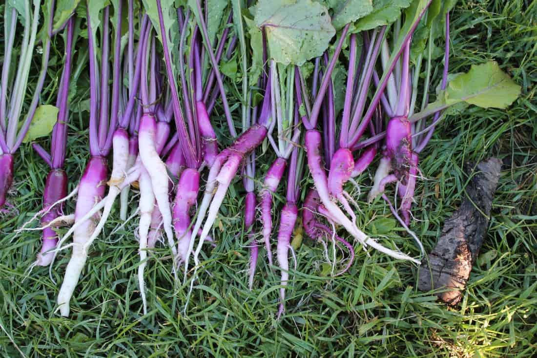 Hinona Kabu Turnips from Baker Creek Seeds