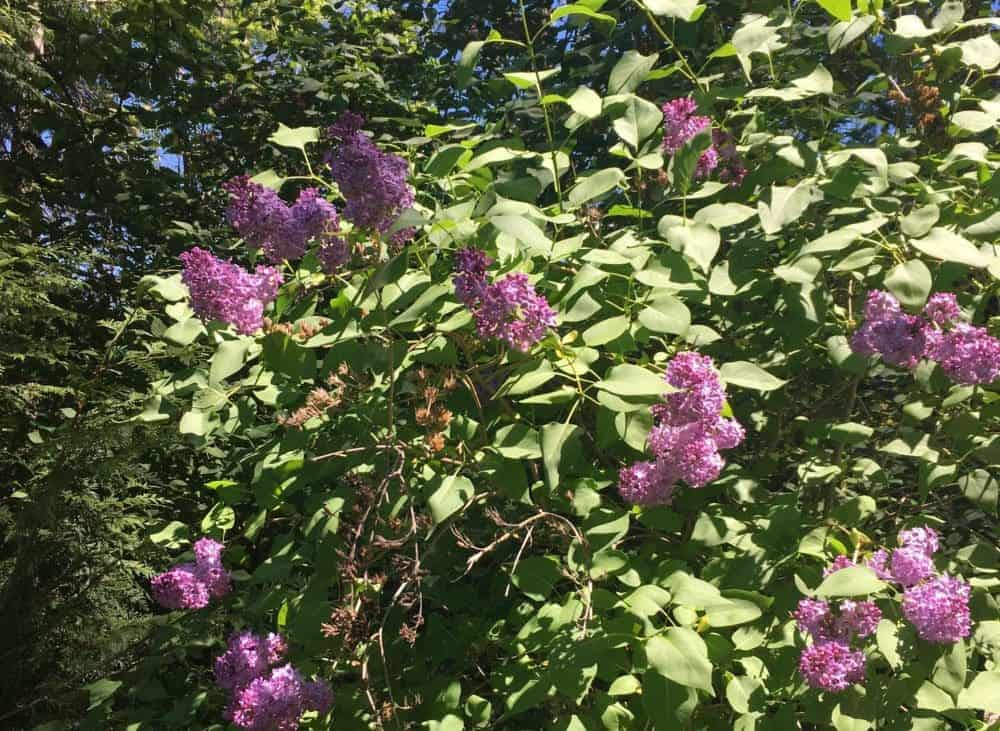 How To Plant A Lilac Hedge Family Food Garden