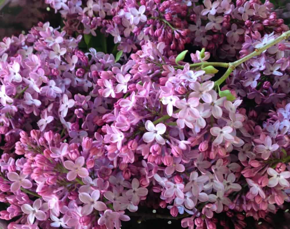 Lilacs are a wonderful spring flower