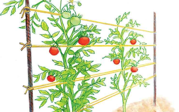 Tomato trellis as a woven row