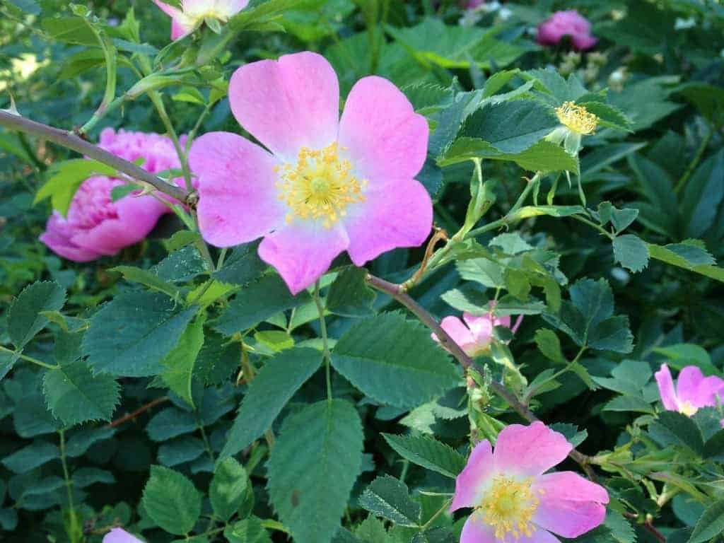 DIY Natural Recipes using Wild Roses