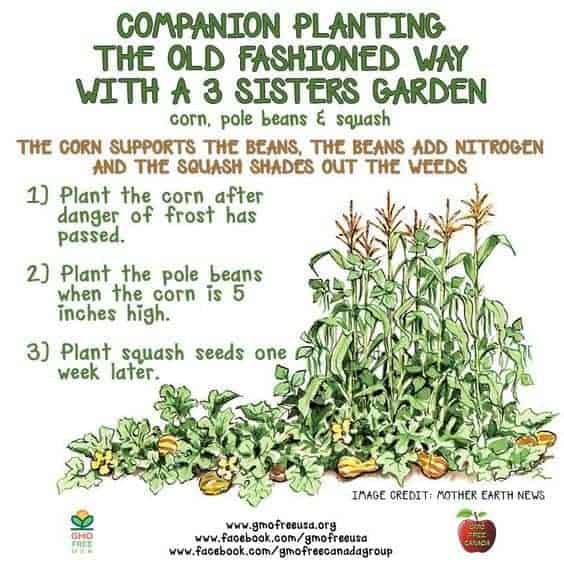 3 Sisters Guild: Growing Corn, Beans & Squash together