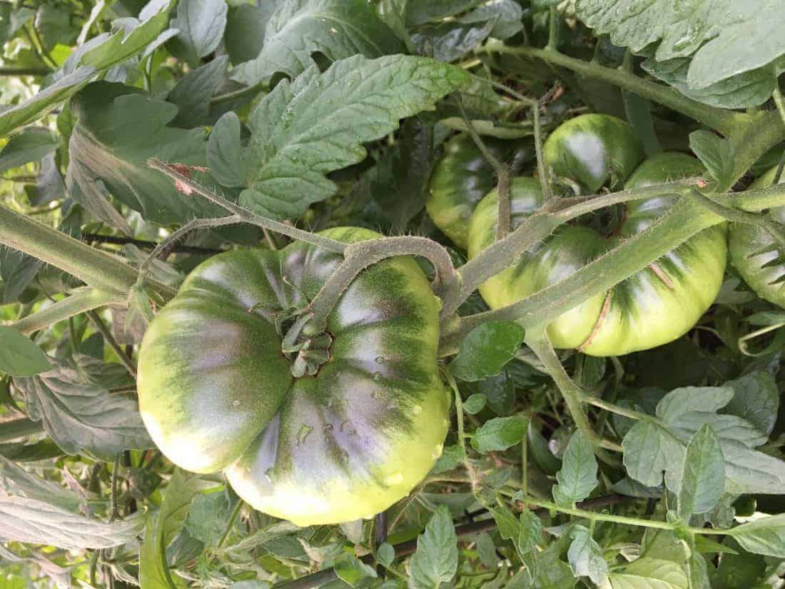 Black Krim Tomatoes before ripening