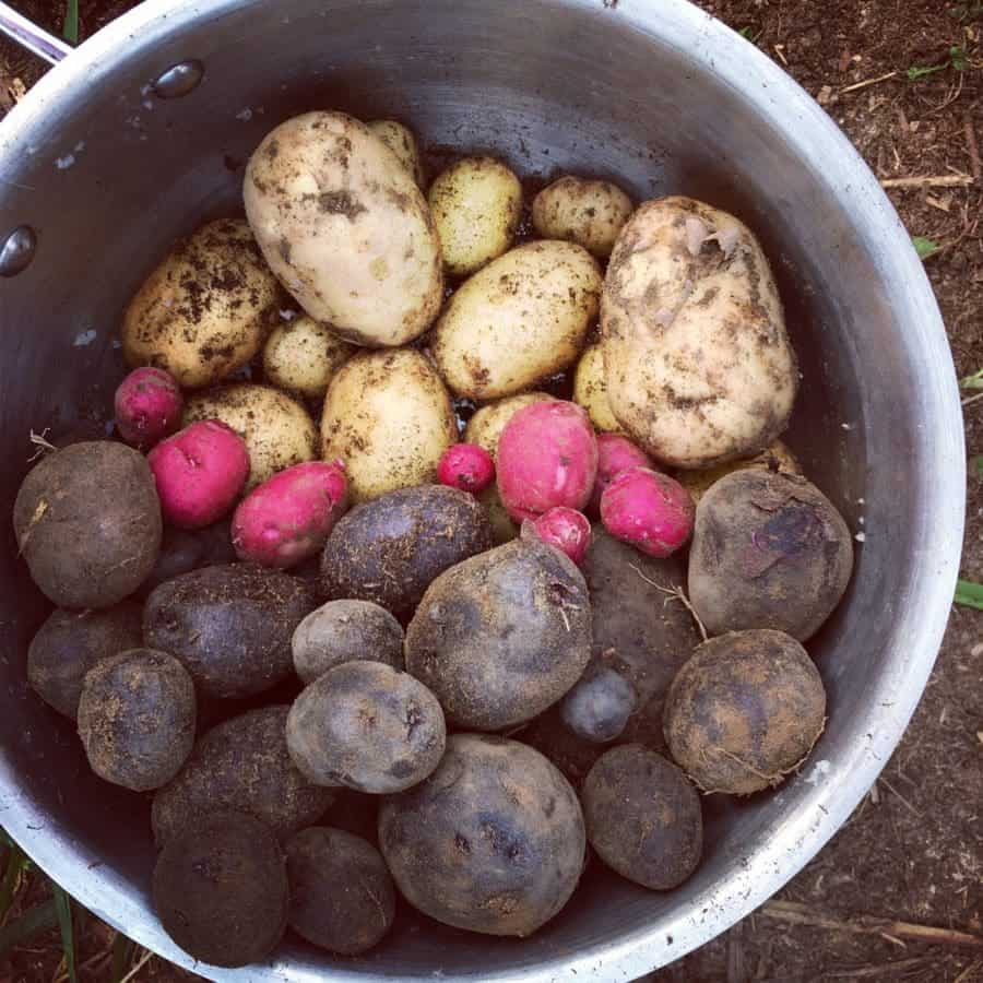 Grow fun pink & purple potatoes #grow #potatoes