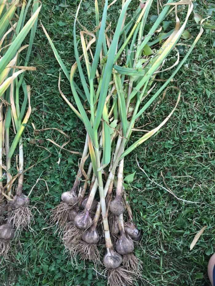When should you harvest garlic? Learn garlic harvesting tips