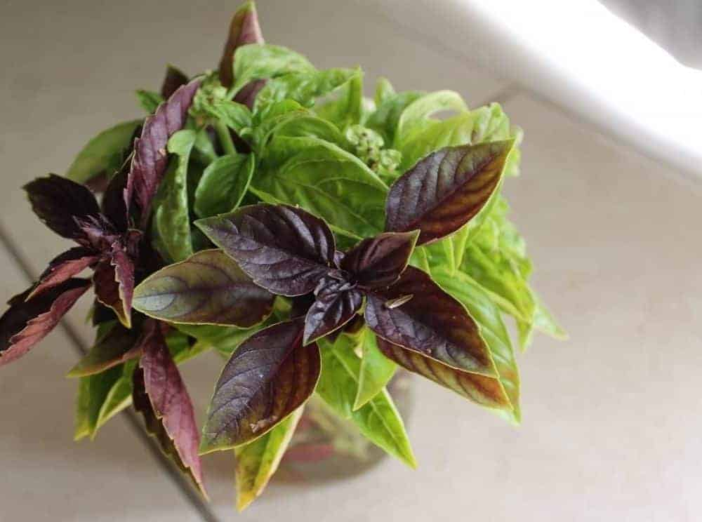 How to freeze and preserve basil