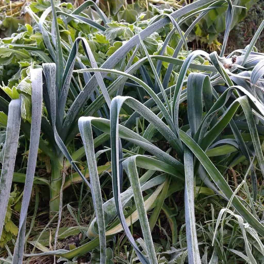 Cold Hardy Crops for the Fall & Winter Vegetable Garden ...