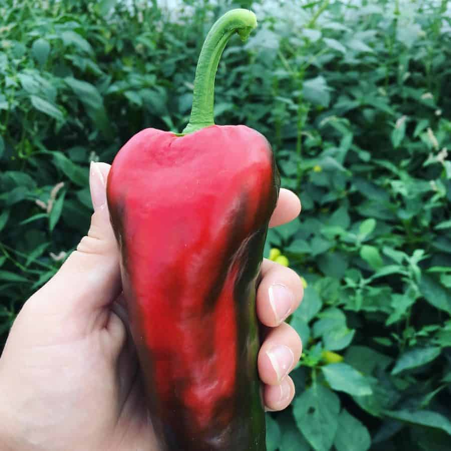 Ajvarski Heirloom Peppers grown in a greenhouse