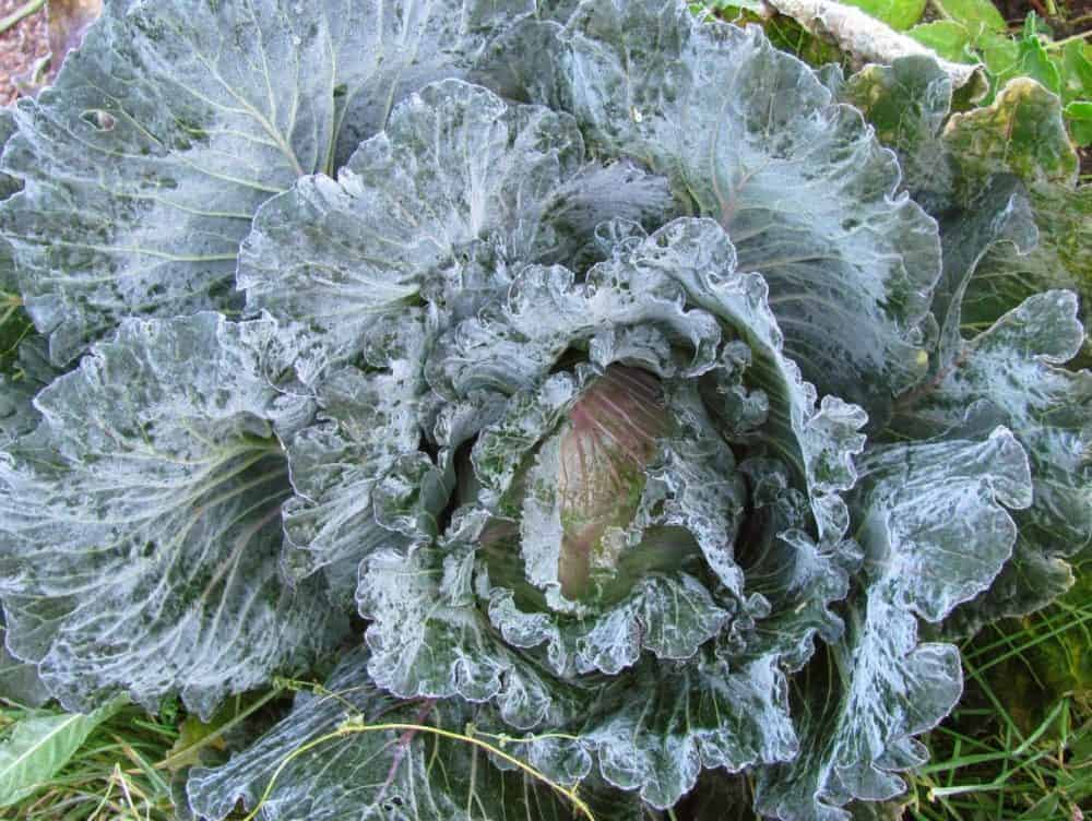 Cold Hardy Crops for the Fall & Winter Vegetable Garden