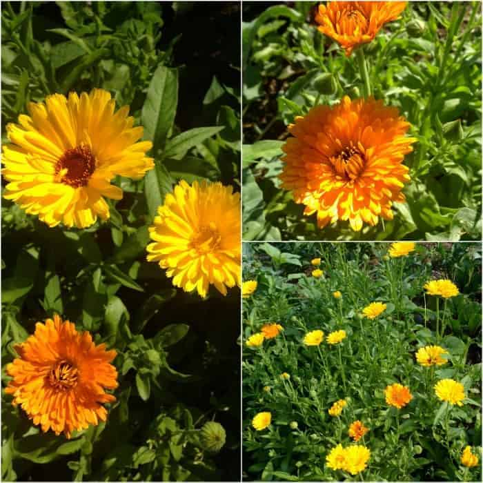 How to Dry Calendula Flowers & Make Calendula Oil