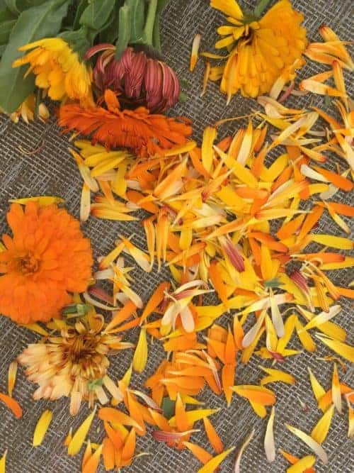 Harvesting calendula petals and infusing calendula oil