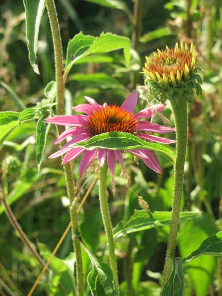 Echinacea is a perfect addition to the pernaculture herb garden design