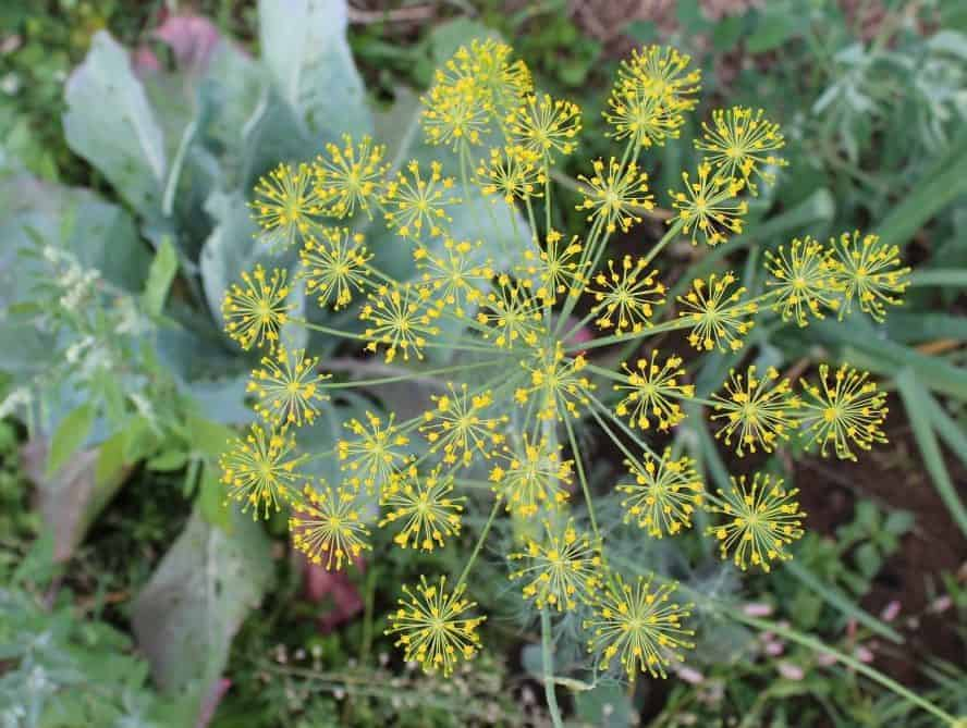 Dill is an excellent herb to grow for companion planting