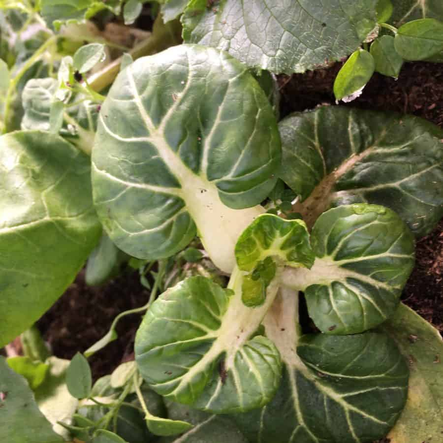 Baby Bok Choi in the winter greenhouse