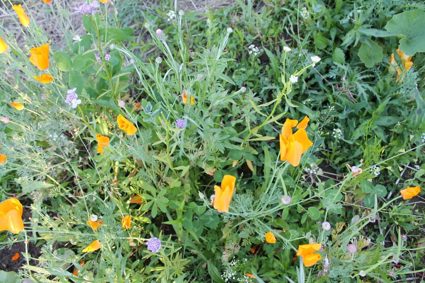 Pros & cons to growing wildflowers in your garden