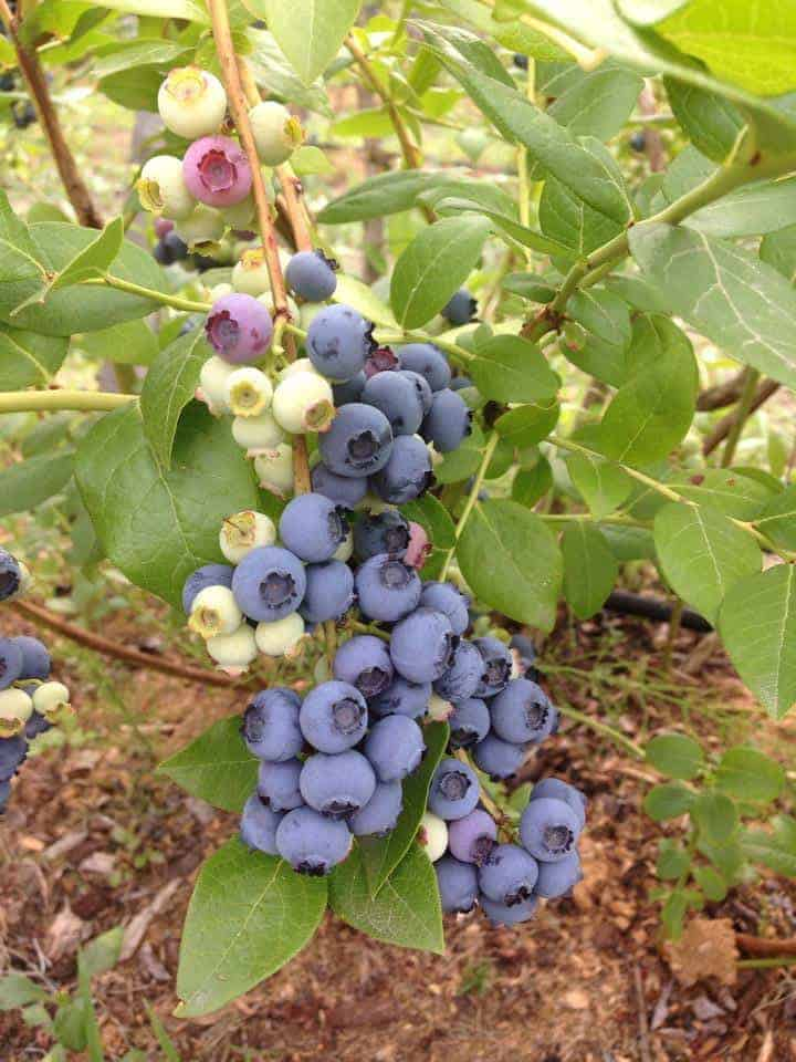 Grow blueberries in a perennial garden