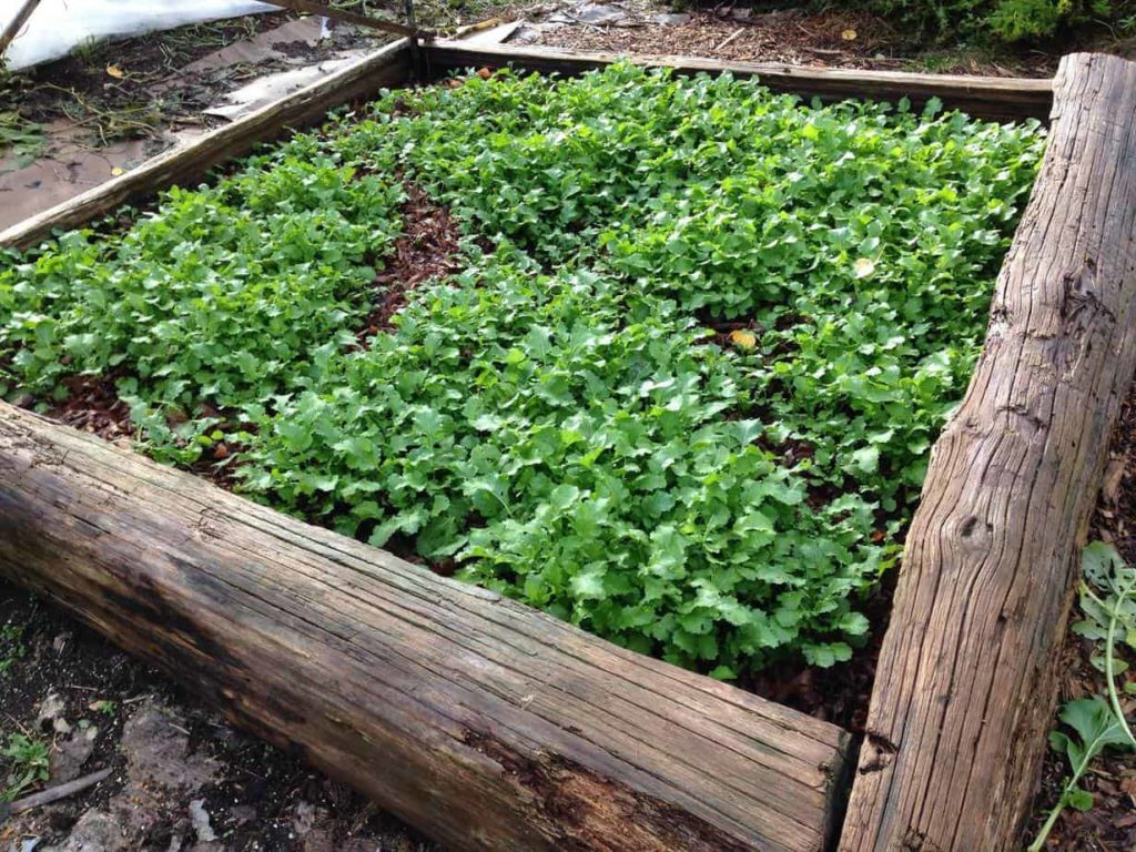 Cover crop of mustards as a green manure