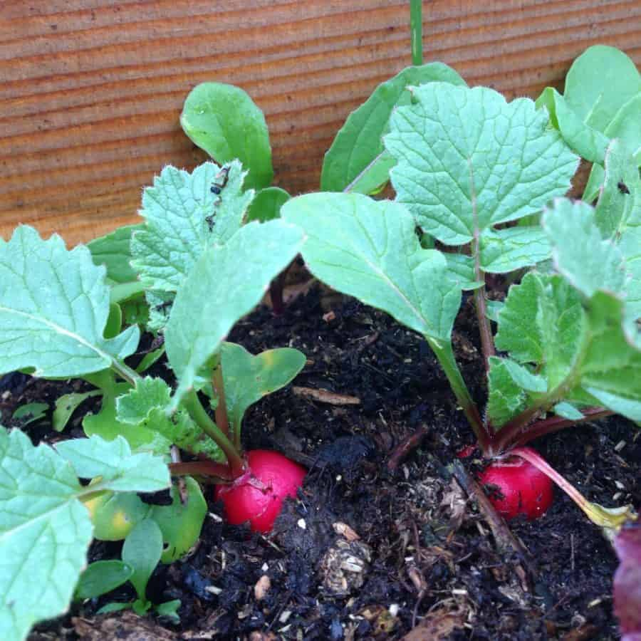 Radishes are perfect as a pre or post garden crop
