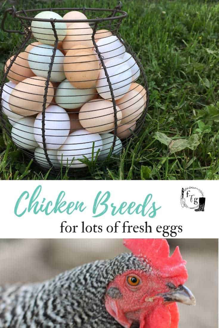 Review of different chicken breeds for eggs