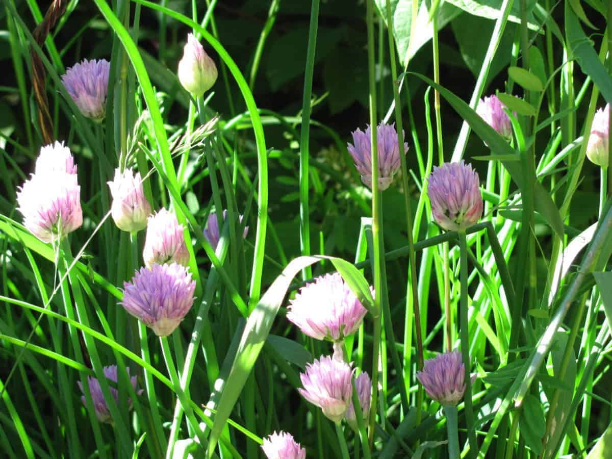 Edible flowers- chives