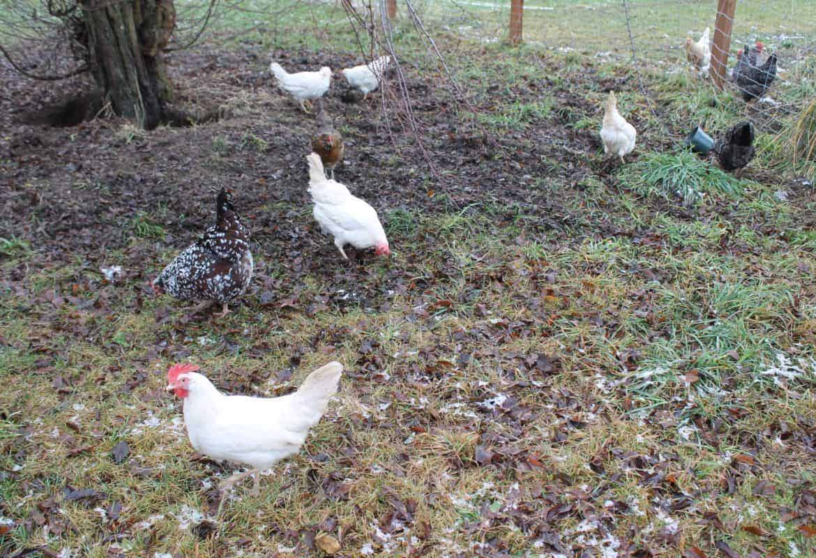 Free Ranging Chickens Safely