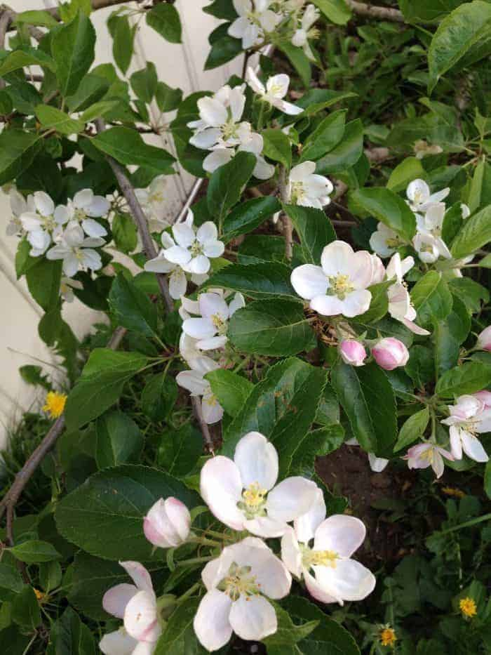 Spring blooming apple tree
