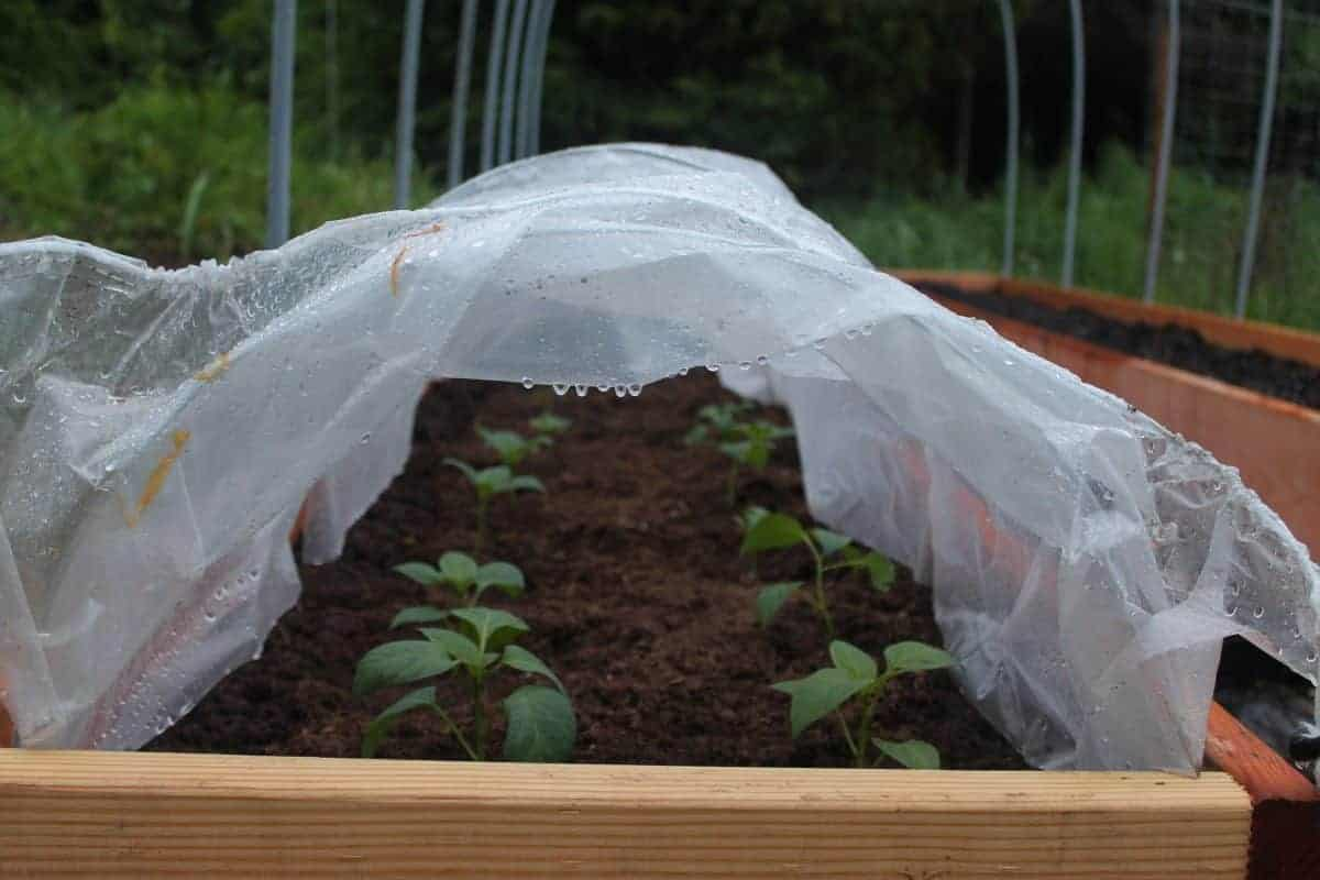 Transplanting peppers under hoop tunnels protects from from erratic spring weather