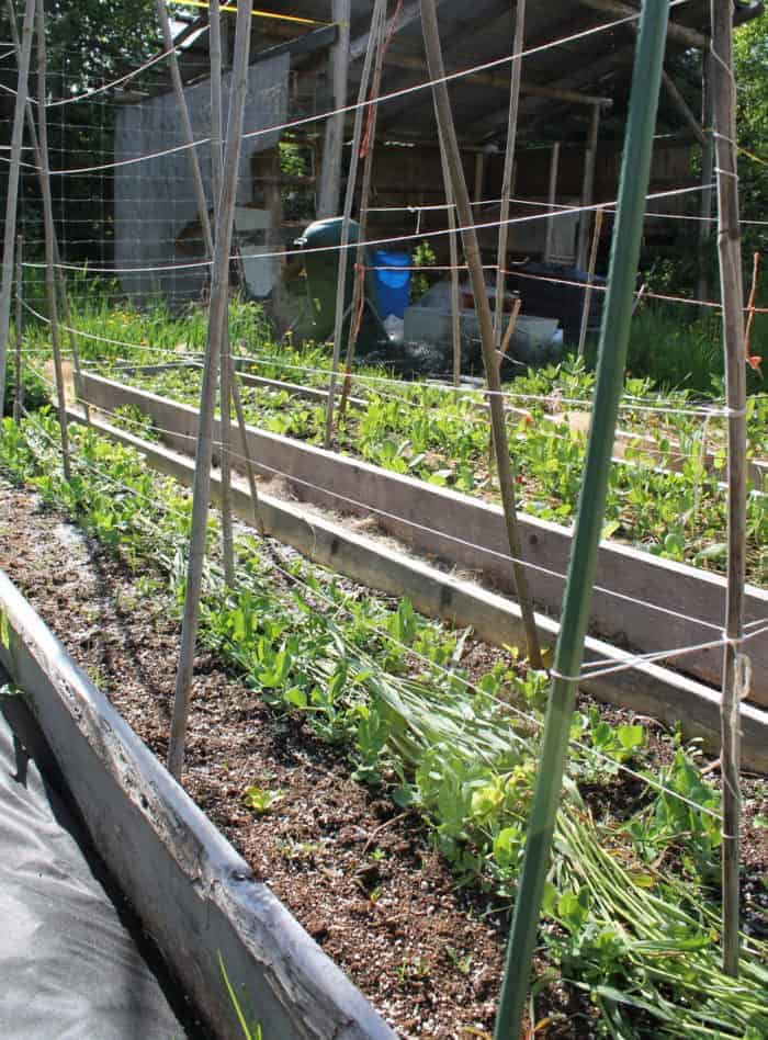Pea trellis mistakes to avoid