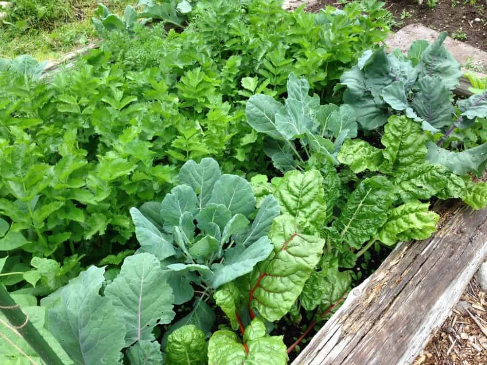 Companion planting in a raised garden bed