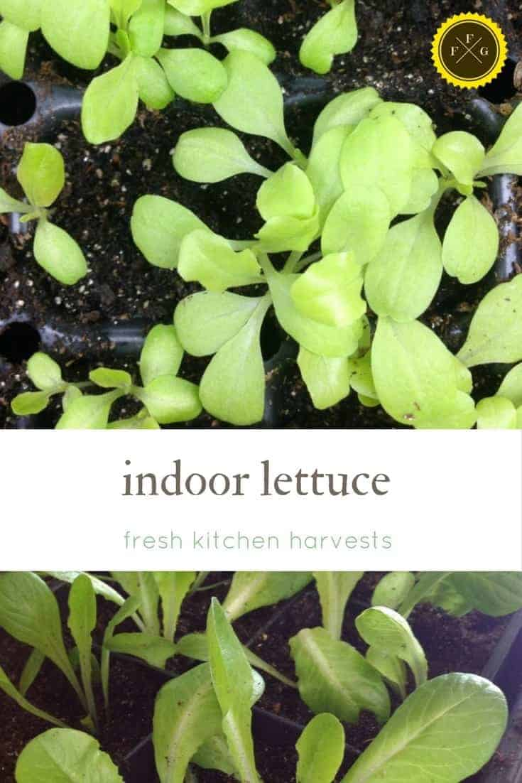 Tips for growing indoor lettuce