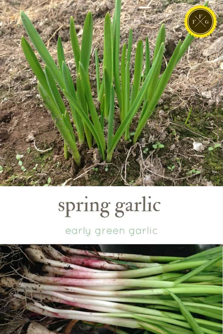 What is the difference between spring garlic & green garlic?