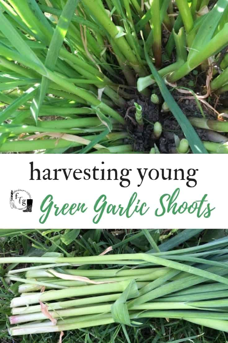 Harvest young green garlic shoots