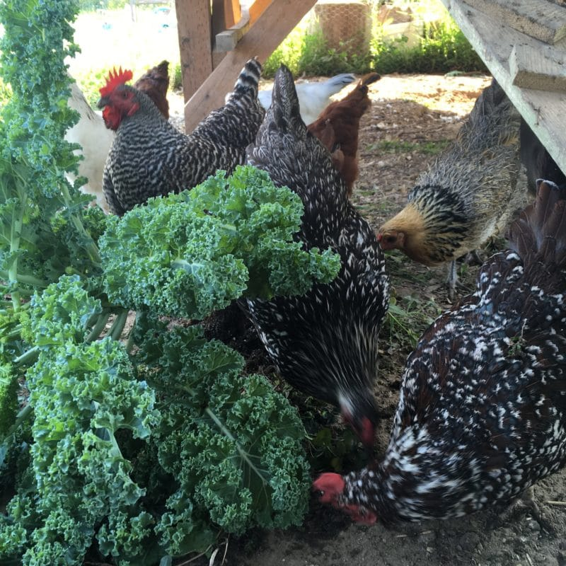 Reduce your costs of feeding chickens