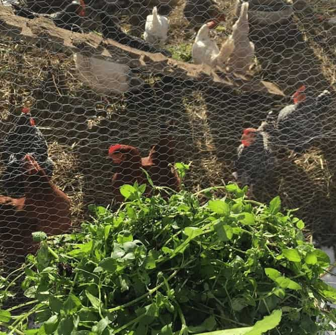 Growing a chicken garden to reduce feeding costs