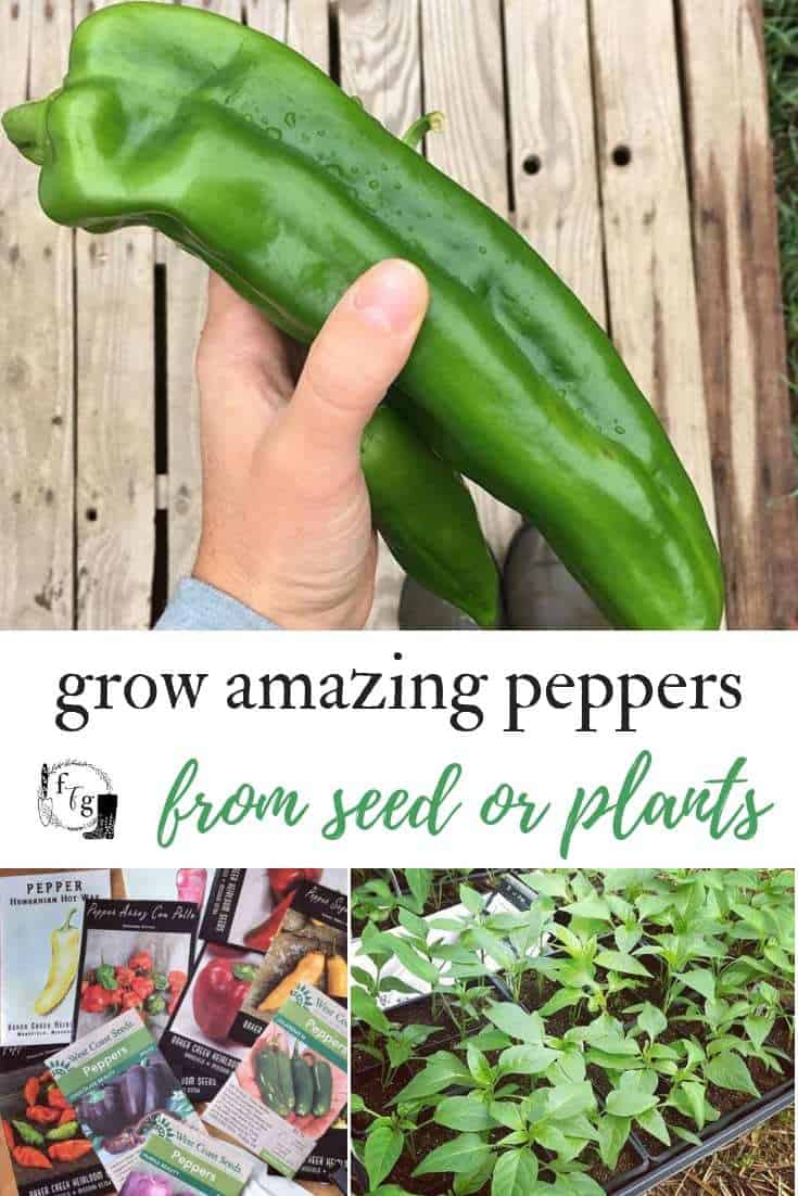 Growing peppers from seeds or plants from bell peppers, hot peppers or sweet peppers