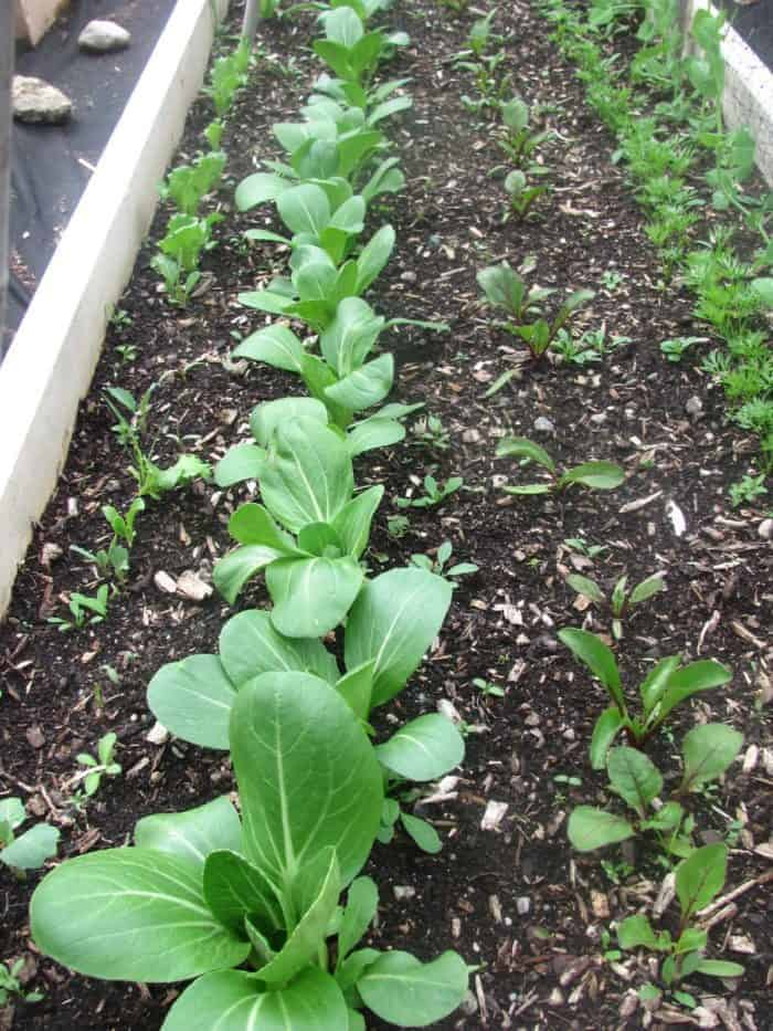 Plants for raised vegetable garden beds