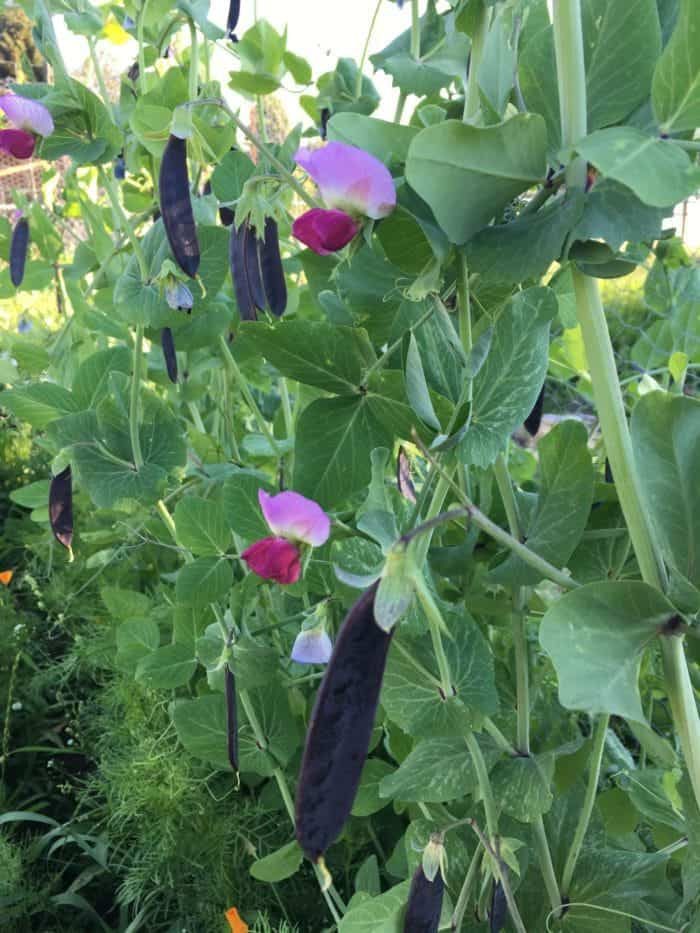 Stunning purple peas make for a gorgeous garden