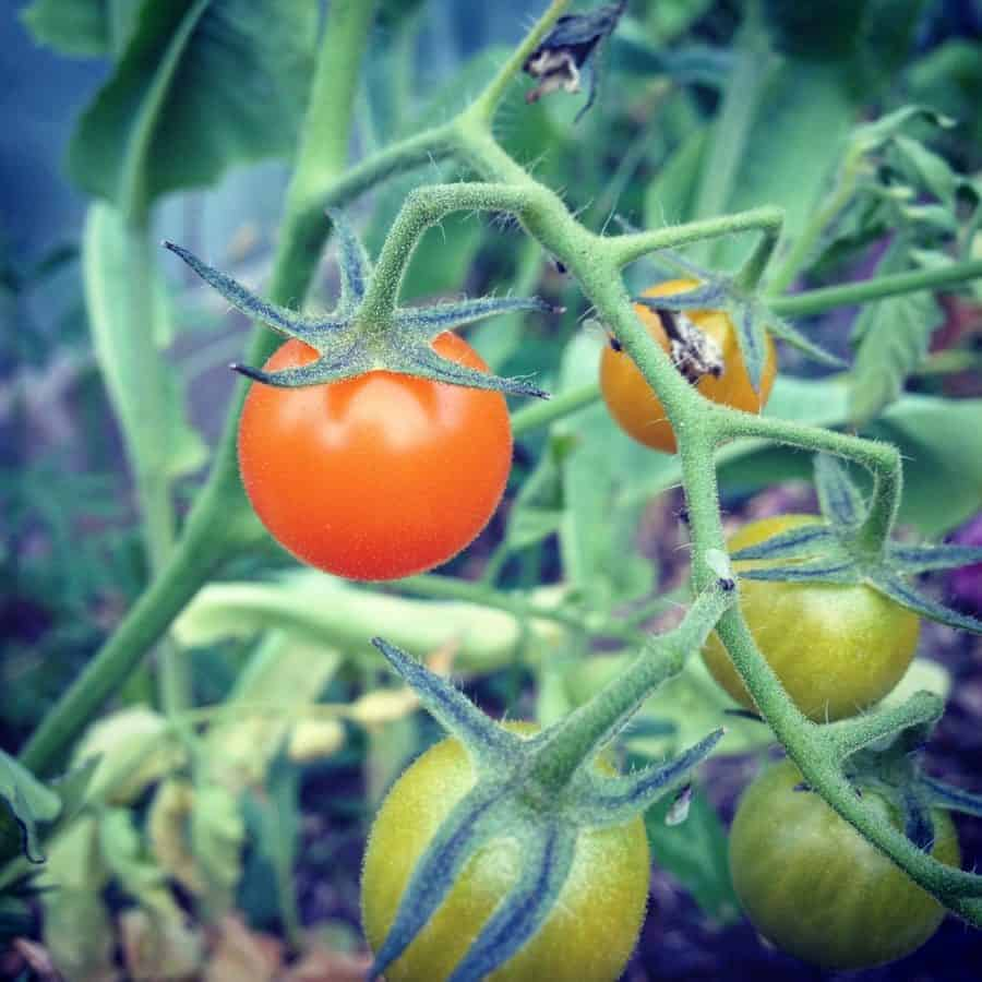 Kids love sungold cherry tomatoes