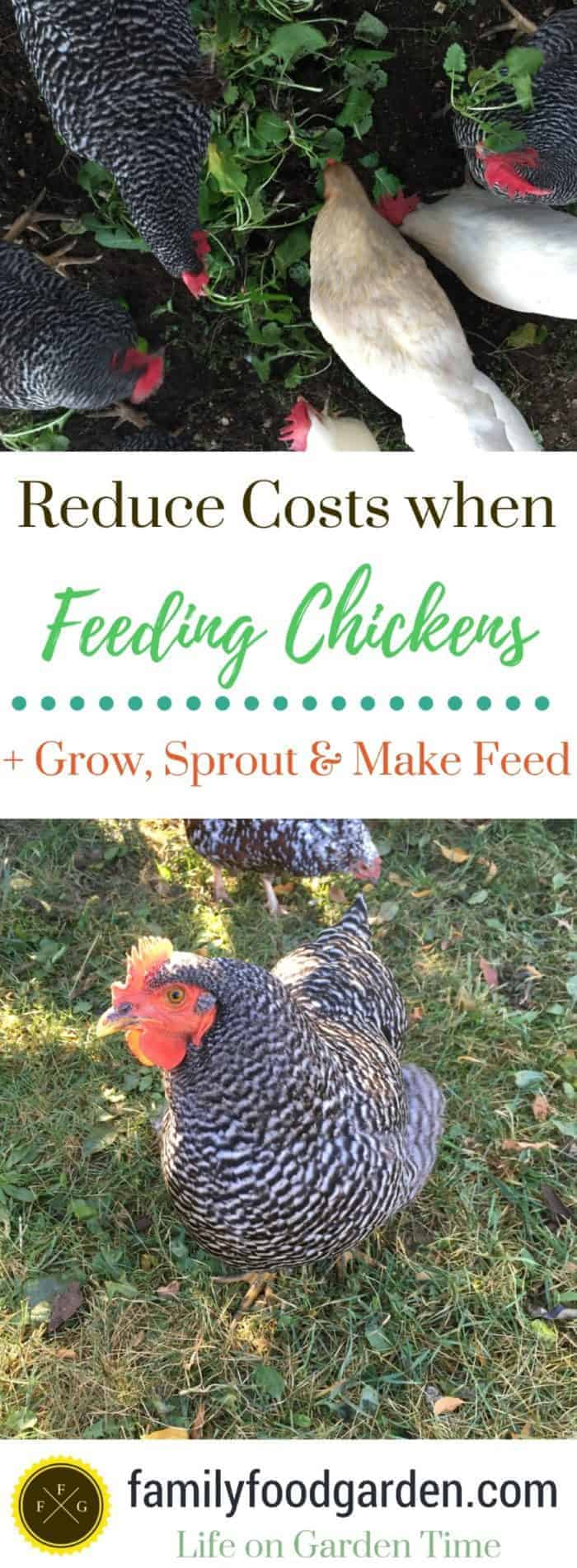Here are some great ways to reduce chicken feeding costs + tips on how to grow your own grains and chicken fodder, make homemade chicken feed & more!