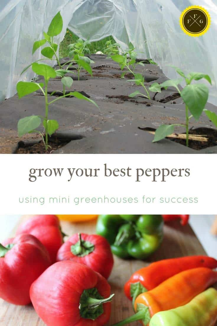 mini greenhouses and portable tunnels can really help increase heat for peppers