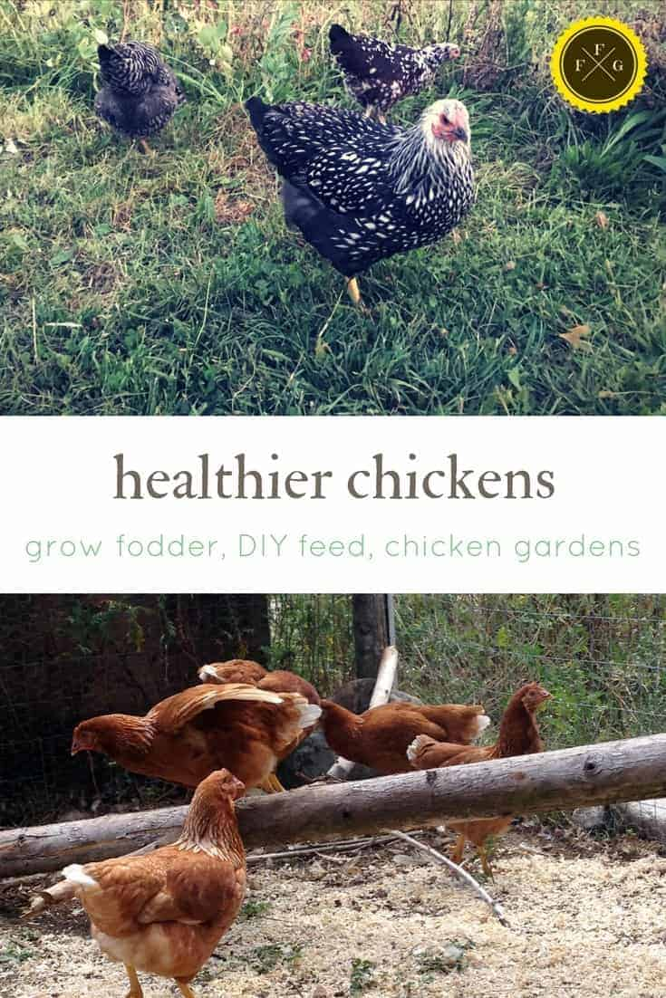 Homemade chicken feed, growing fodder and growing a chicken garden