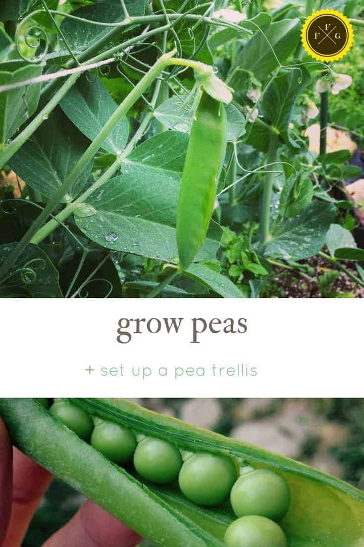 How to grow peas and set up a pea trellis