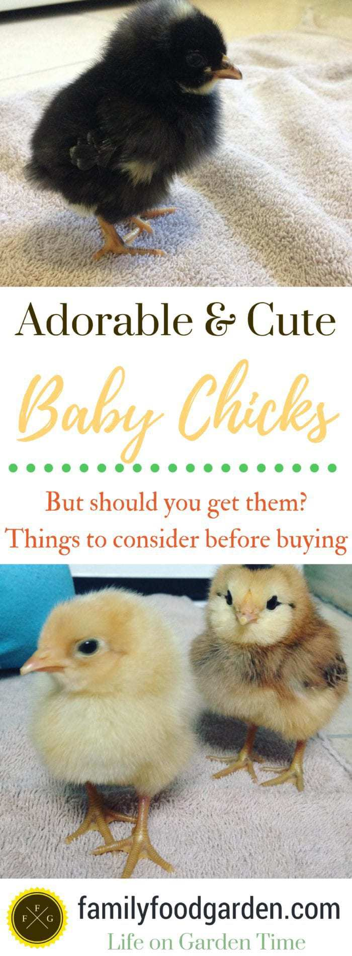Things to think about before buying baby chicks