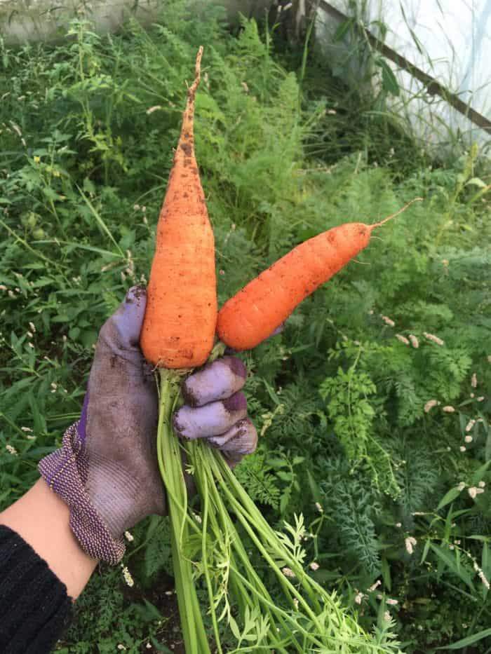 Tips for growing fantastic carrots